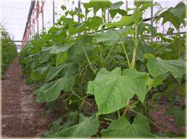 Cultivo de pepino bajo invernadero